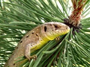 ještěrka vyhlíží z borovice