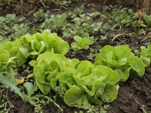 saláty ze srpnového výsevu v září